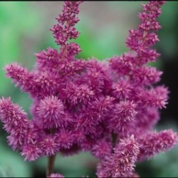 Astilbe Visions </br> Landscape Center