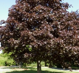 Royal Red Maple </br> Landscape Center