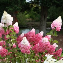 Vanilla Strawberry Hydrangea</br> Landscaping Center