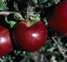 Apple Tree</br> Landscape Center