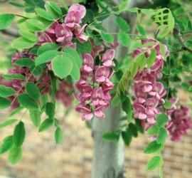Purple Robe Locust </br> Landscape Center