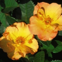 Rosa Morden Sunrise </br> Landscape Center