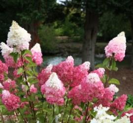 Vanilla Strawberry Hydrangea</br> Landscaping Center